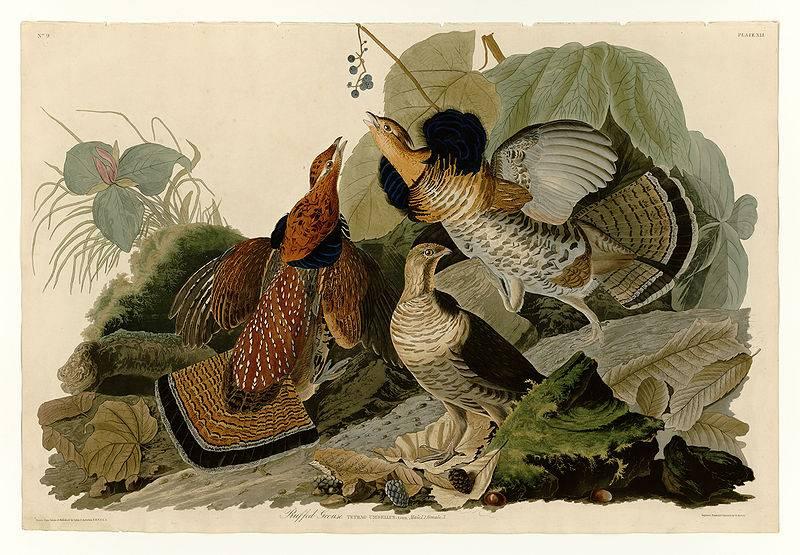 Ruffed Grouse, Plate 41 of Birds of America by John James Audubon.