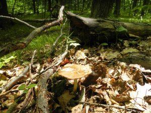 Kennedy Park mushroom walk, Lenox, MA