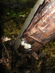 Oyster mushroom - Kennedy Park, Lenox, MA June 9, 2013