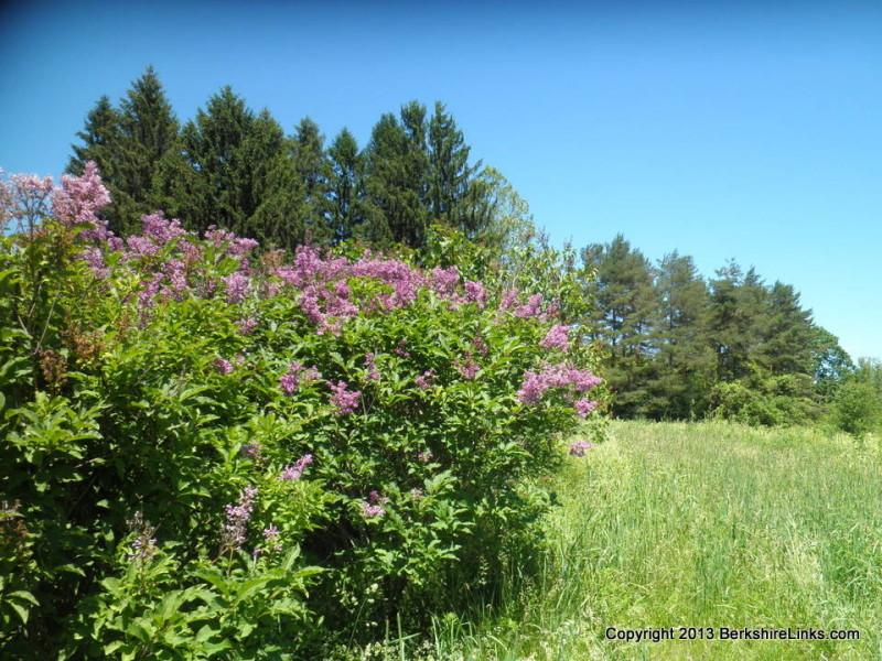 Lilacs in Springside Park, Pittsfield, MA, June 2013
