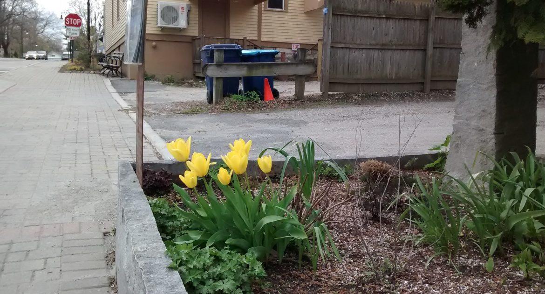 Daffodils on Church st., Lenox, MA
