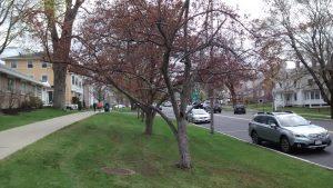 Flowering trees Main St. Lenox, MA